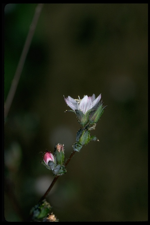 Hesperolinon drymarioides, ©1998 John Game, https://calphotos.berkeley.edu/cgi/img_query?enlarge=7271+3192+3248+0100