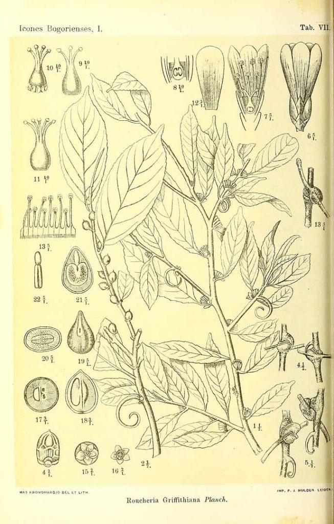 Indorouchera griffithiana (Planchon) Hallier f. [as Roucheria griffithiana Planchon] S.H. Koorders, T. Valeton, Icones Bogoriensis, vol. 1: t. 7 (1897-1914) [M. Kromohardjo], http://plantillustrations.org/illustration.php?id_illustration=363419
