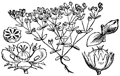 Lenek stoziarn, By Martin Cilenšek - Scan from Naše škodljive rastline (1892), Public Domain, https://commons.wikimedia.org/w/index.php?curid=4629254