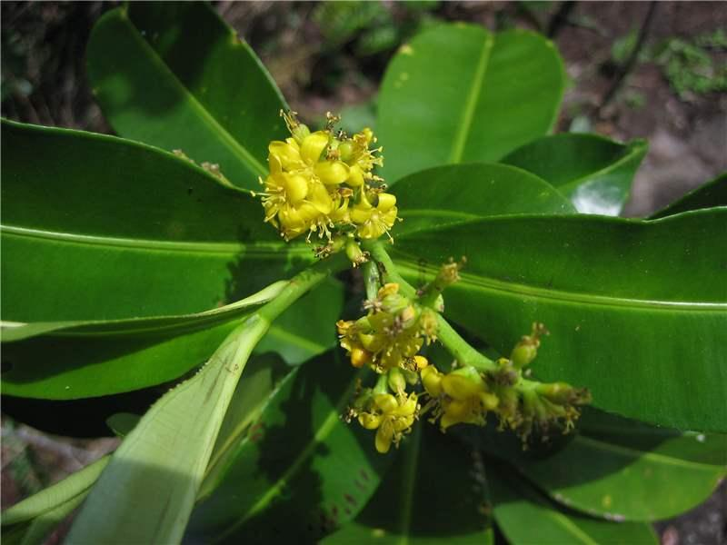 Roucheria columbiana (Linaceae) - Roucheria columbiana, L. Potaro., http://www.plantsoftheworldonline.org/taxon/urn:lsid:ipni.org:names:24967-1#image-gallery,