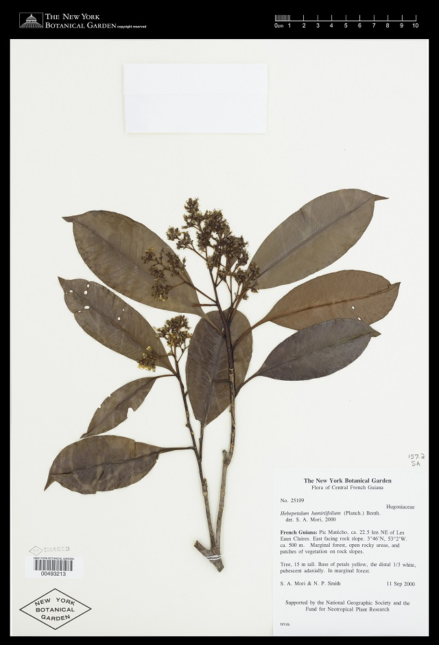 Hebepetalum humiriifolium (G.Planch.) Benth., Virtual Herbarium of The New York Botanical Garden, http://sweetgum.nybg.org/science/projects/fg/specimen-details/?irn=510030