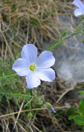 Linum alpinum, Tigerente, CC BY-SA 3.0, https://commons.wikimedia.org/w/index.php?curid=878765