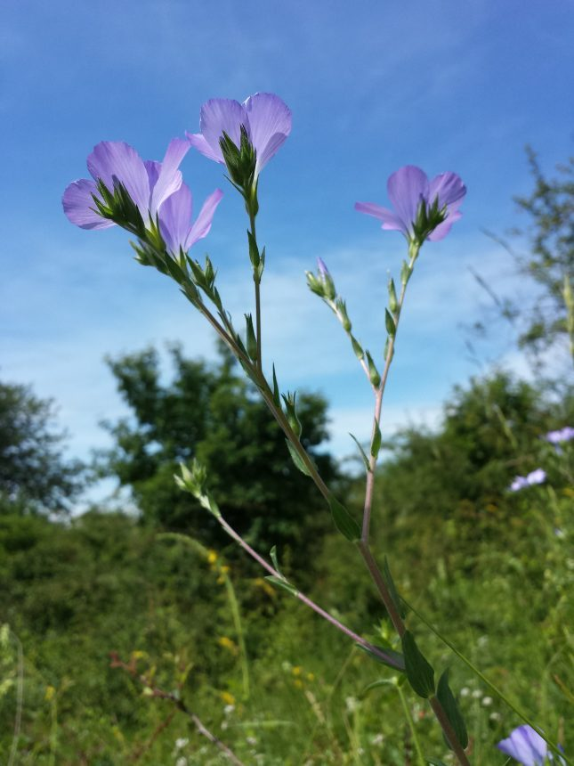 Linum hirsutum, Stefan.lefnaer, CC BY-SA 4.0, https://commons.wikimedia.org/w/index.php?curid=50499576
