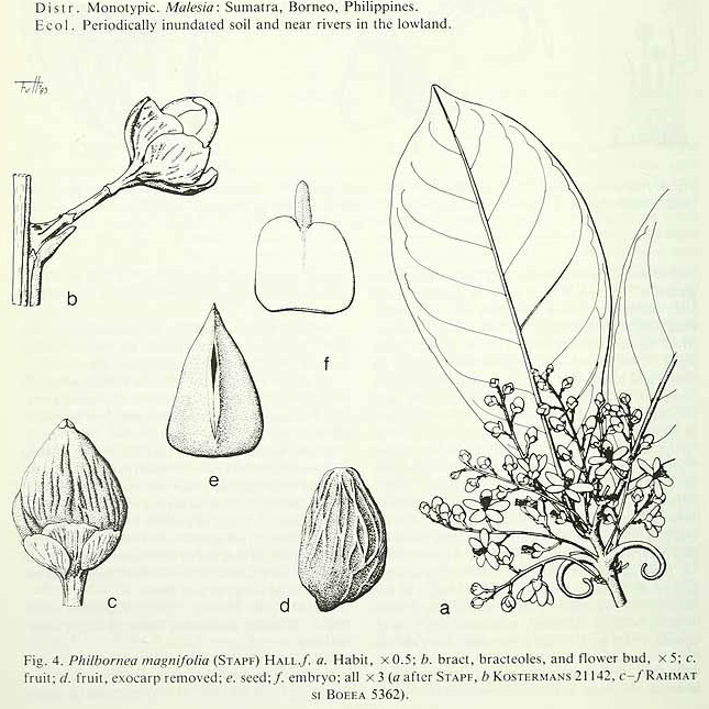 Philbornea magnifolia (Stapf) Hallier f.Flora Malesiana, vol. 10: p. 614, fig. 4 (1984-1989) [F. v H.], http://plantillustrations.org/illustration.php?id_illustration=233132