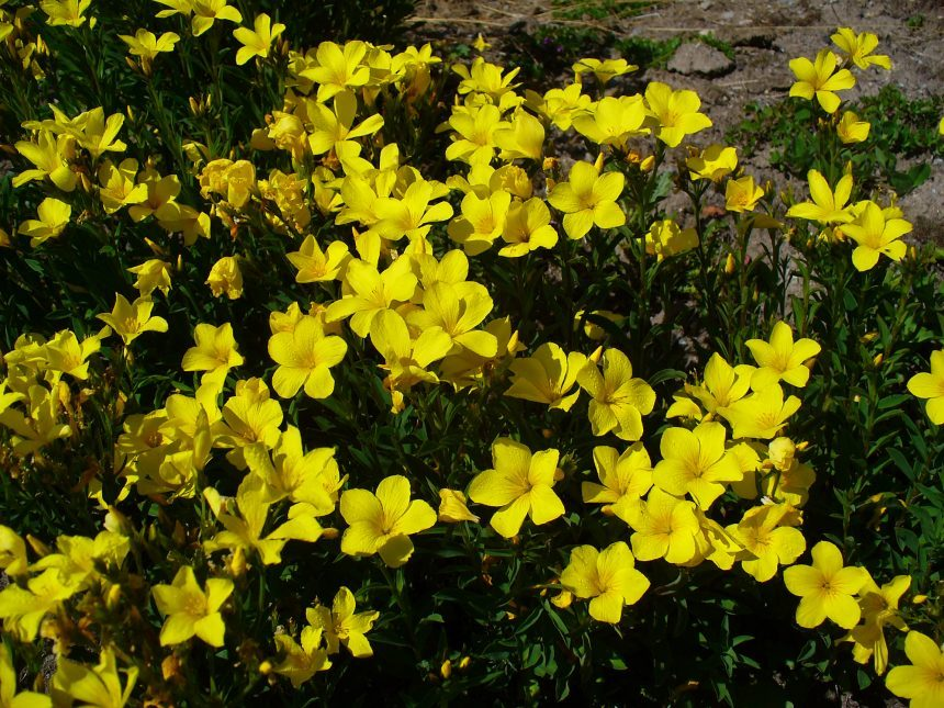 Linum flavum, H. Zell, CC BY-SA 3.0, https://commons.wikimedia.org/w/index.php?curid=8889544